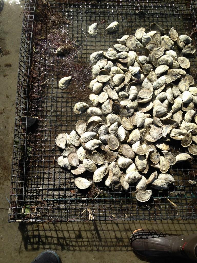 farms- oyster farm