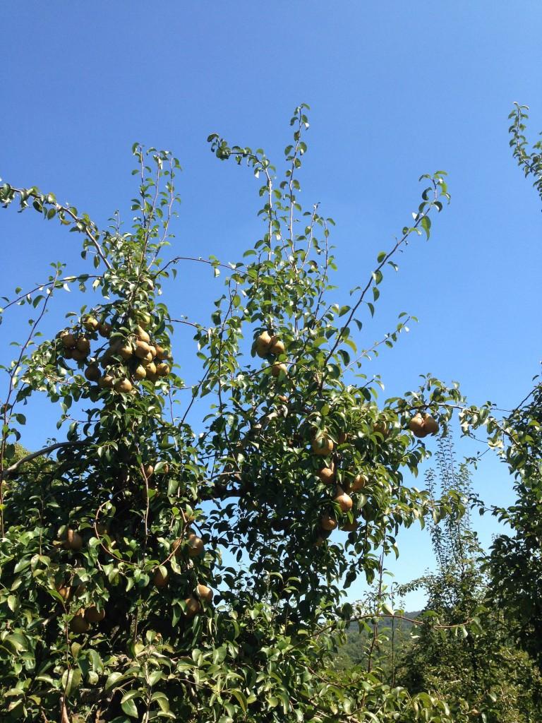 farms- pears