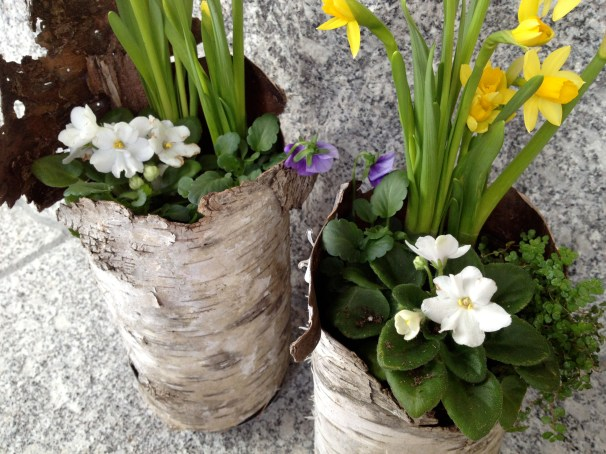 The bulbs and pansies will go outside in May.
