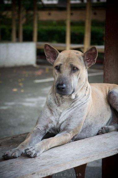 strassenhund_tempel_chiang_mai_thailand