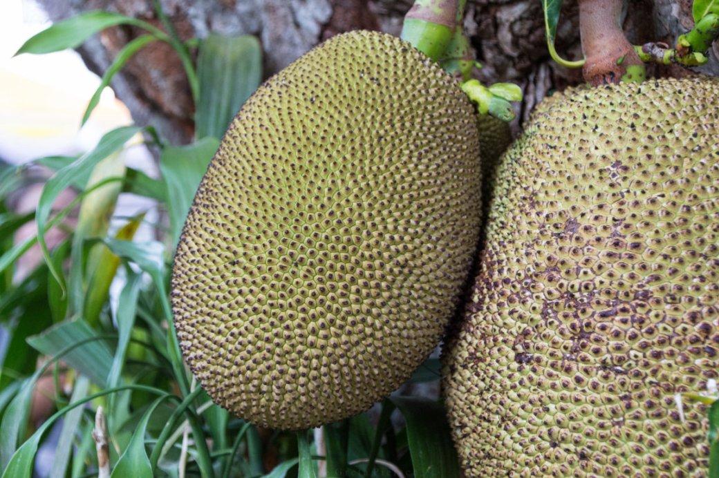 Jackfruit Früchte an einem Baum in Chiang Mai, Thailand