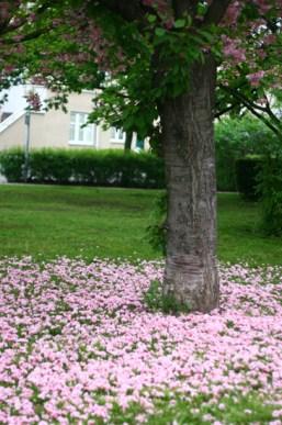 cherry blossoms ground