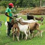 Goat Farming In Nigeria And All You Must Know
