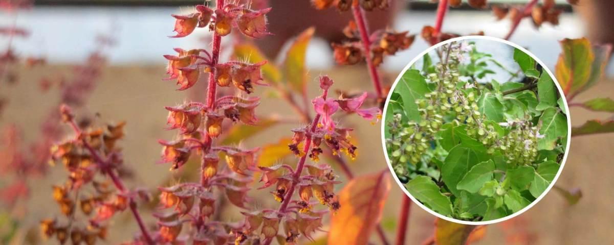 Tulsi Plant - A Medicinal Herb