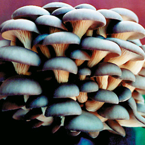Blue Oyster mushroom growing Kits