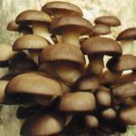 Sonoma Brown mushroom growing Kits