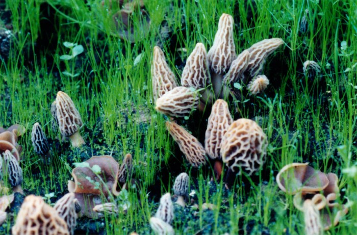 Grow your own Morel Mushroom; Morel Mushrooms growing in a Morel Habitat.