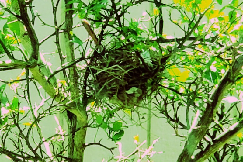 cardinal nest in a tree