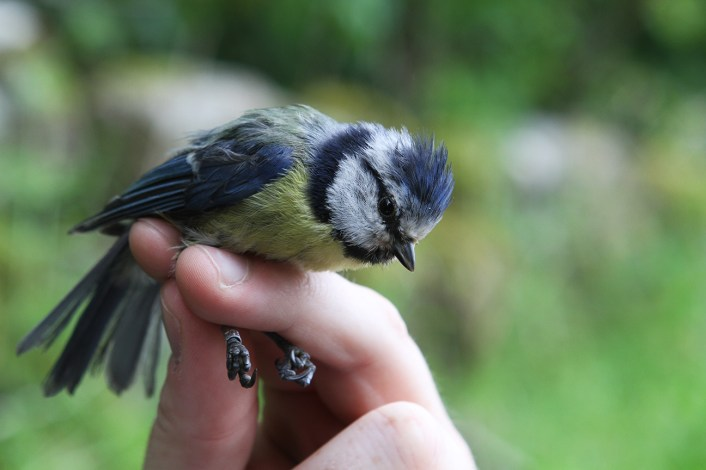 An adult blue tit