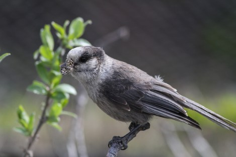A grey jay perching on one of the shrubs in the common garden