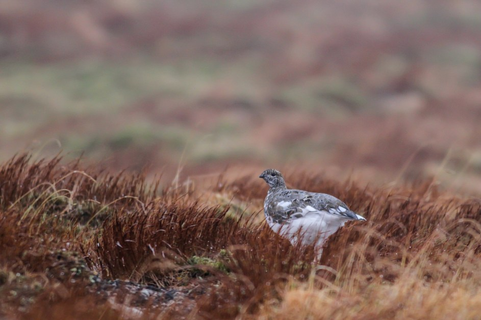 Ptarmigan on Cairngorm Mountain