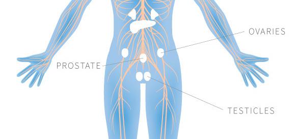 nervous-sytems-glands-prostate