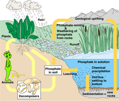 Phosphorus cycle with peeing dude The Science of the Jack o lantern