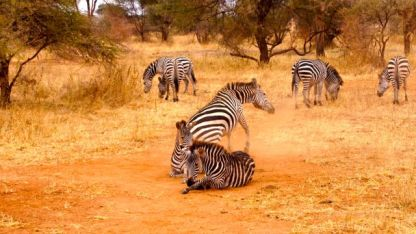 Zebra dust bathing
