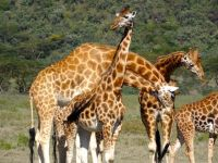 18 Giraffes in this group