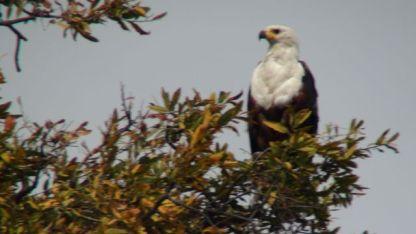 The 'eagle' starr