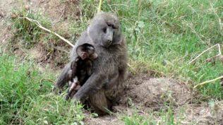 Baboon with babyThree