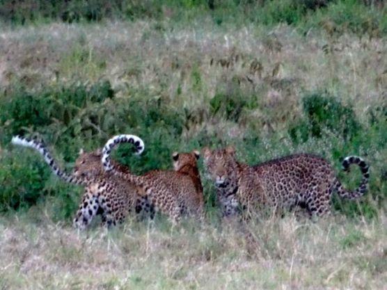 Three Leopards - Darleen style