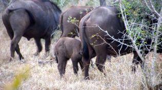A buffalo calf