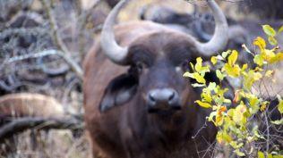 Buffalo - one of The Big Five