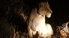 Lion - One of The Big Five