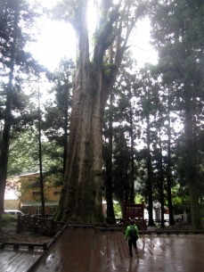 The Ancient trees of Alishan