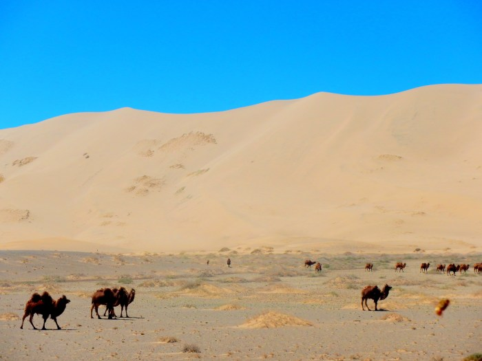Wild camels in the Singing Dunes of Khongoriin Els, Gobi Desert, Mongolia