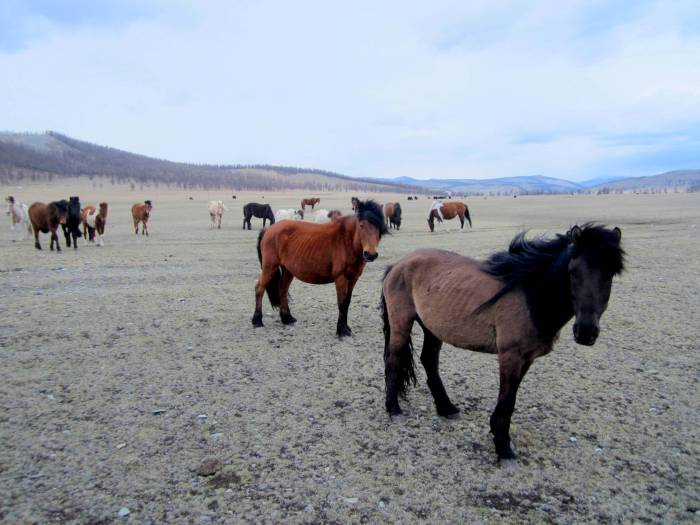 Wild horses in northern Mongolia