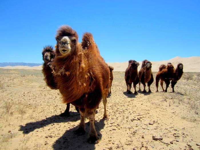 Camels in Khongoriin Els, Gobi Desert, Mongolia