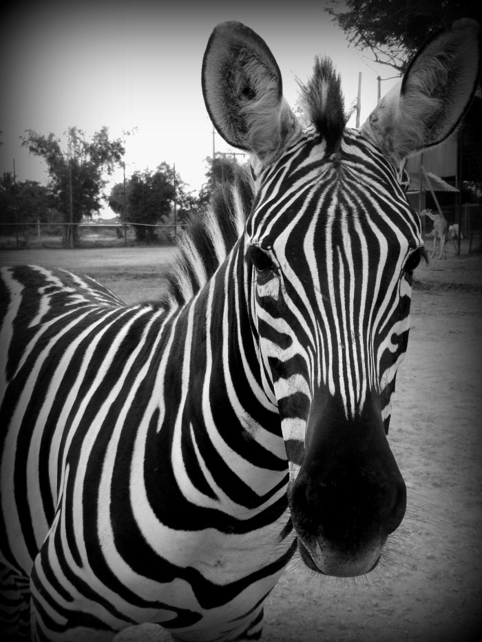 Zebra at the Safari Park Zoo, Kanchanaburi, Thailand