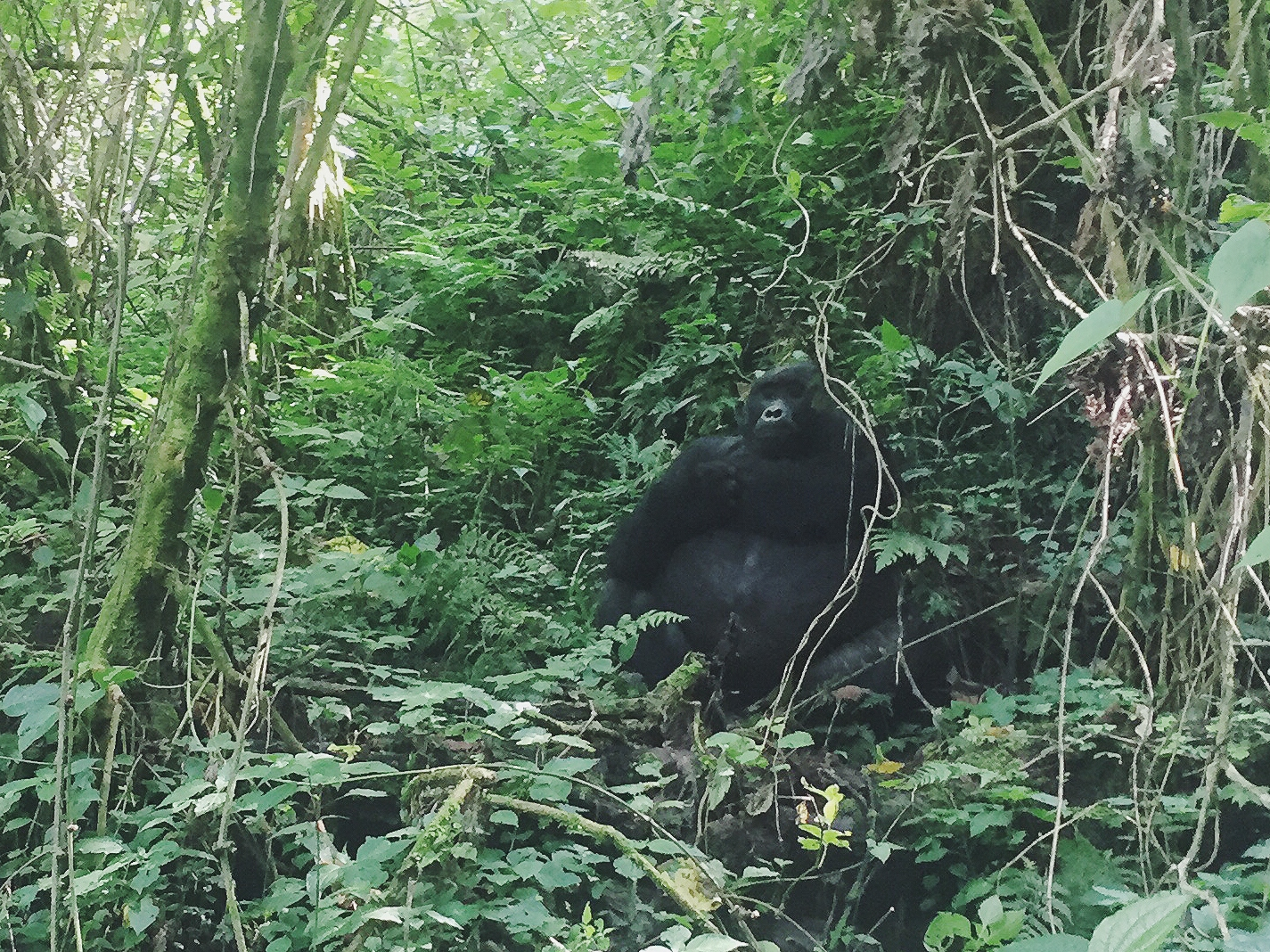 Bwindi Forest, Uganda- the hike to see the last wild gorillas