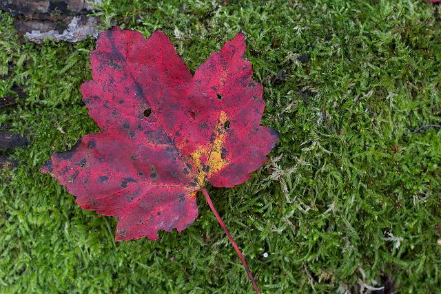 Red Maple on Moss Velvet