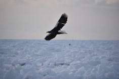Steller's sea eagle at Rausu