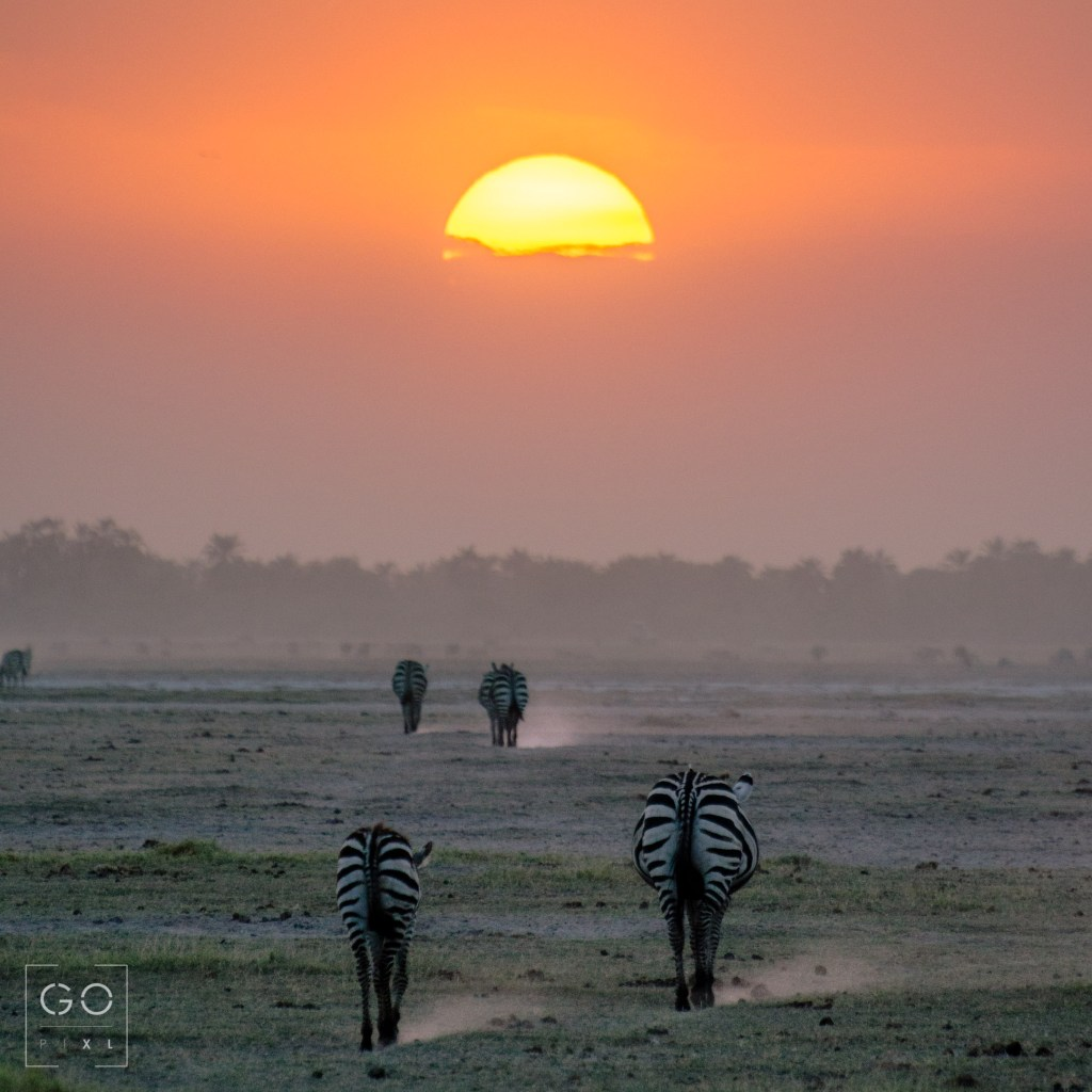 Zebras from Amboseli National Park