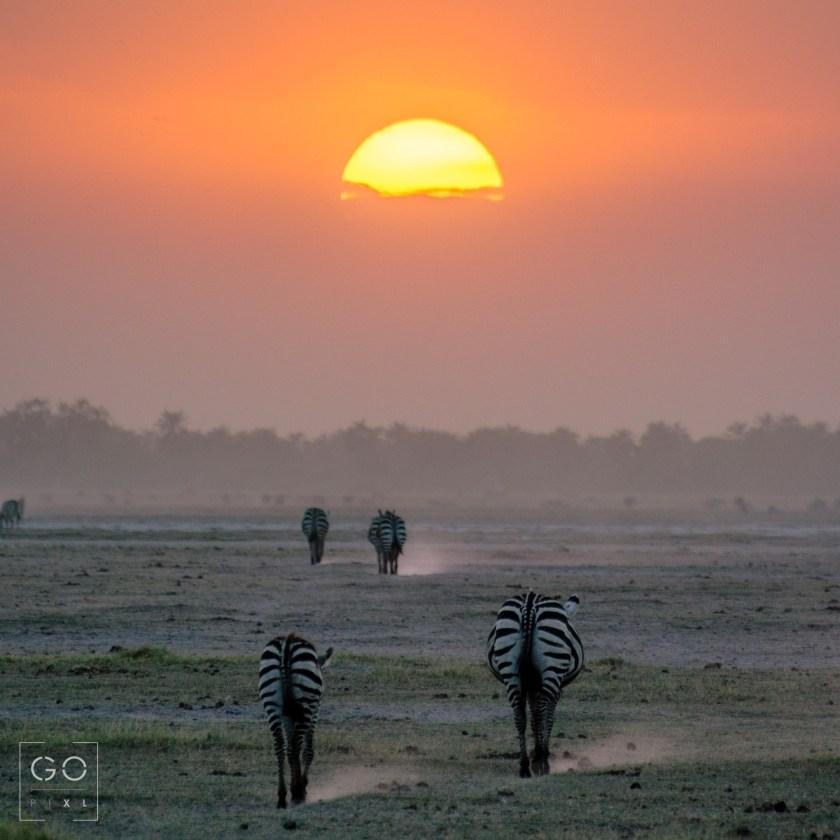 Zebras from Amboseli National Park
