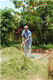 mauzo-threshing-paddy-at-goa-chitra