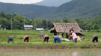 Planting the rice fields across the street from our house outside of Pai