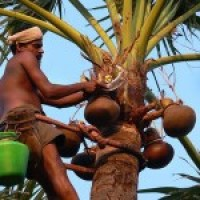 How Goan Coconut Vinegar (Vinagre) is made