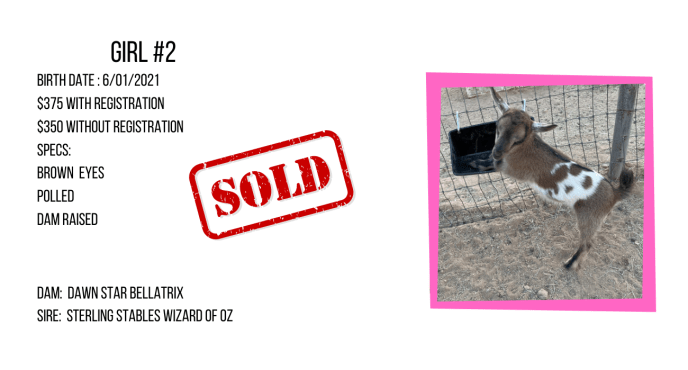 Nigerian Dwarf doe for sale