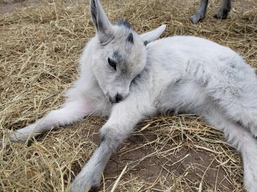 Goat Yoga Feb 2019 (60)