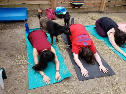 Goat Yoga Feb 2019 (99)