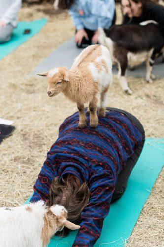 Goat Yoga-31