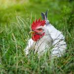 White Rooster resting on green grass. Free-Range Chickens