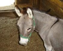 Oliver the mini-donkey