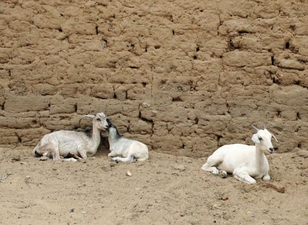 03_mali_goat