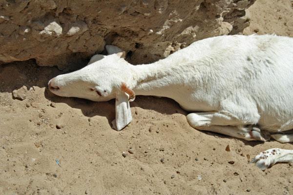 03_sleeping_goat