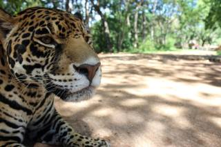 Mexican Safari: A Close Encounter of the Jaguar Kind