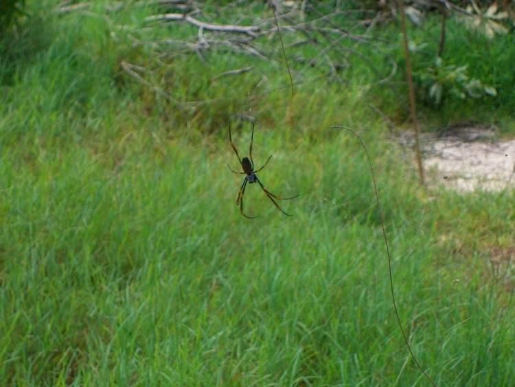 Spider on Fraser Island