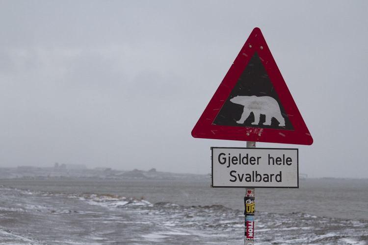 Polar bear crossing in Longyearbyen