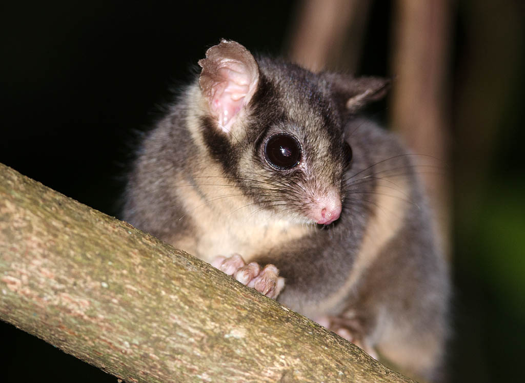 Leadbeater's Possum - Yarra Ranges State Forest